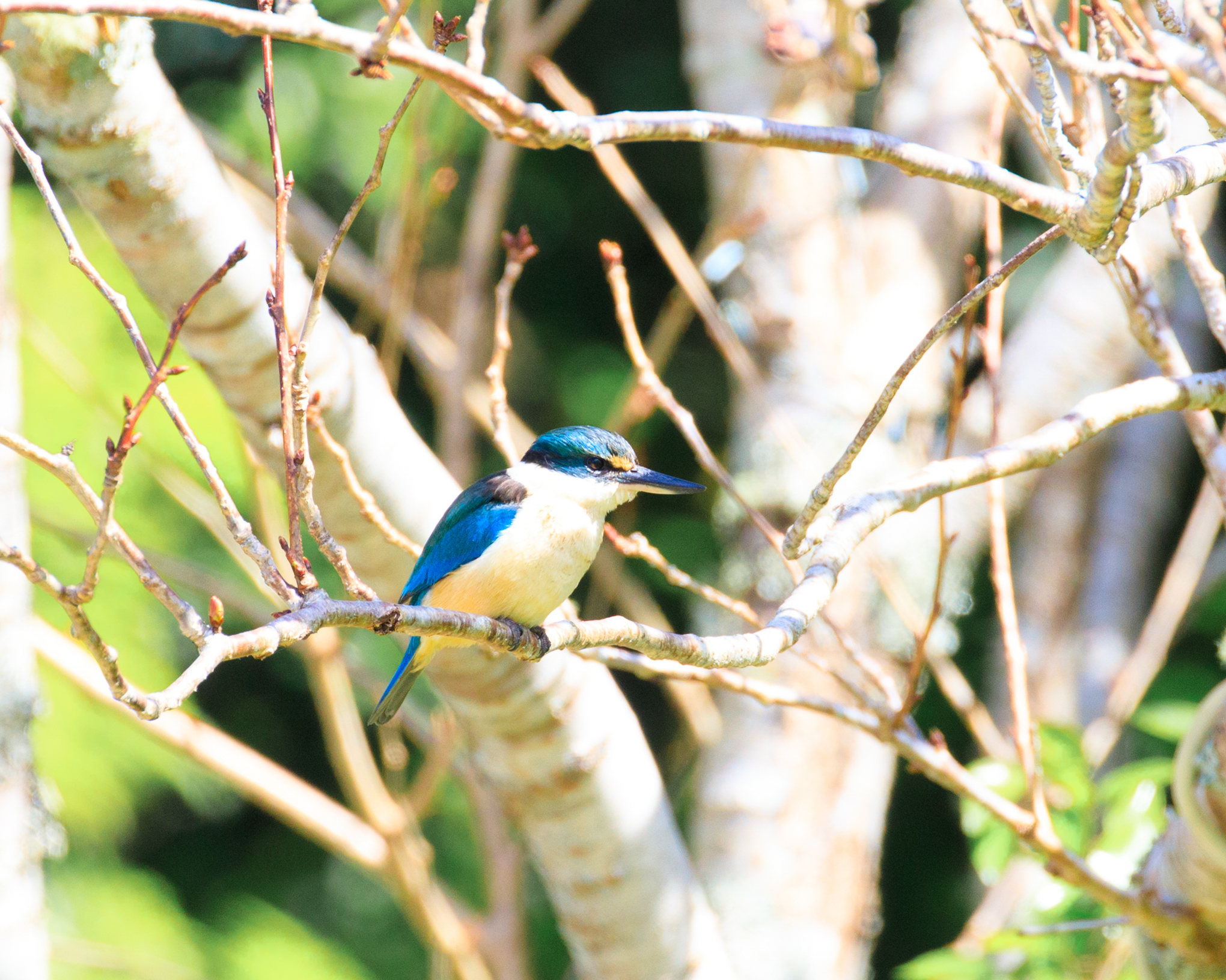 King Fisher - Tryphena