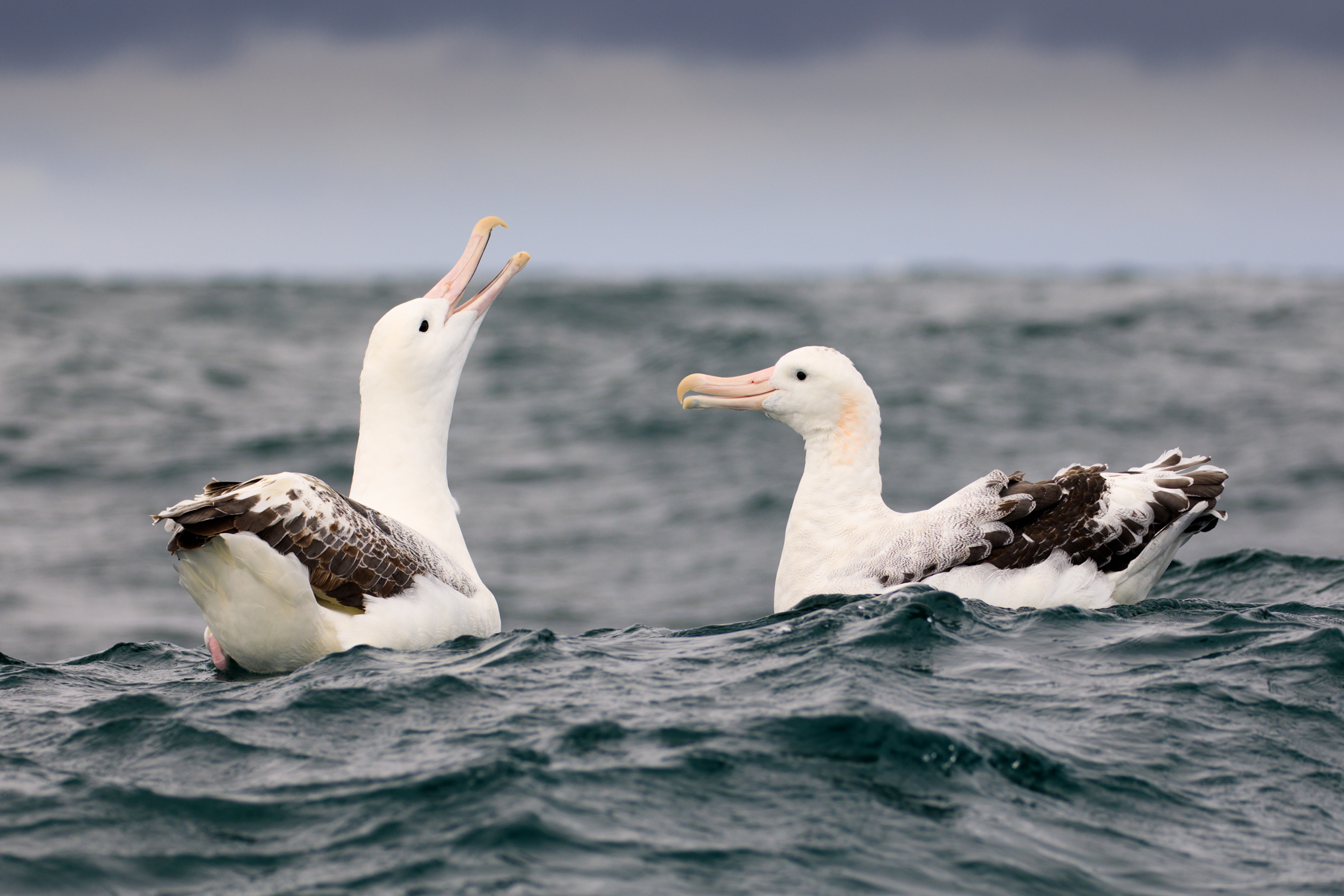 Southern Royal and Gibson's Wandering Albatross having a chat