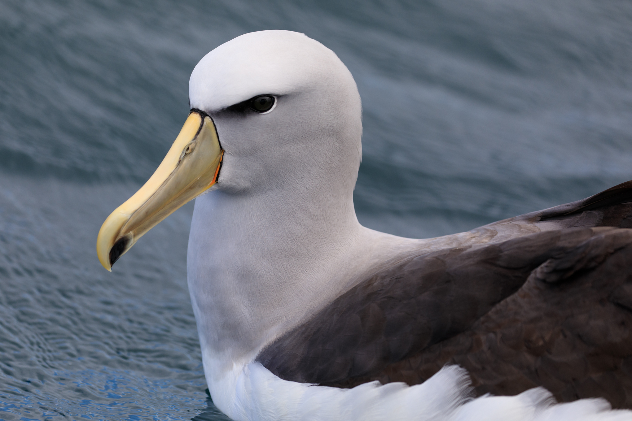 A young Salvin's Albatross (note the dark patch on lower beak)