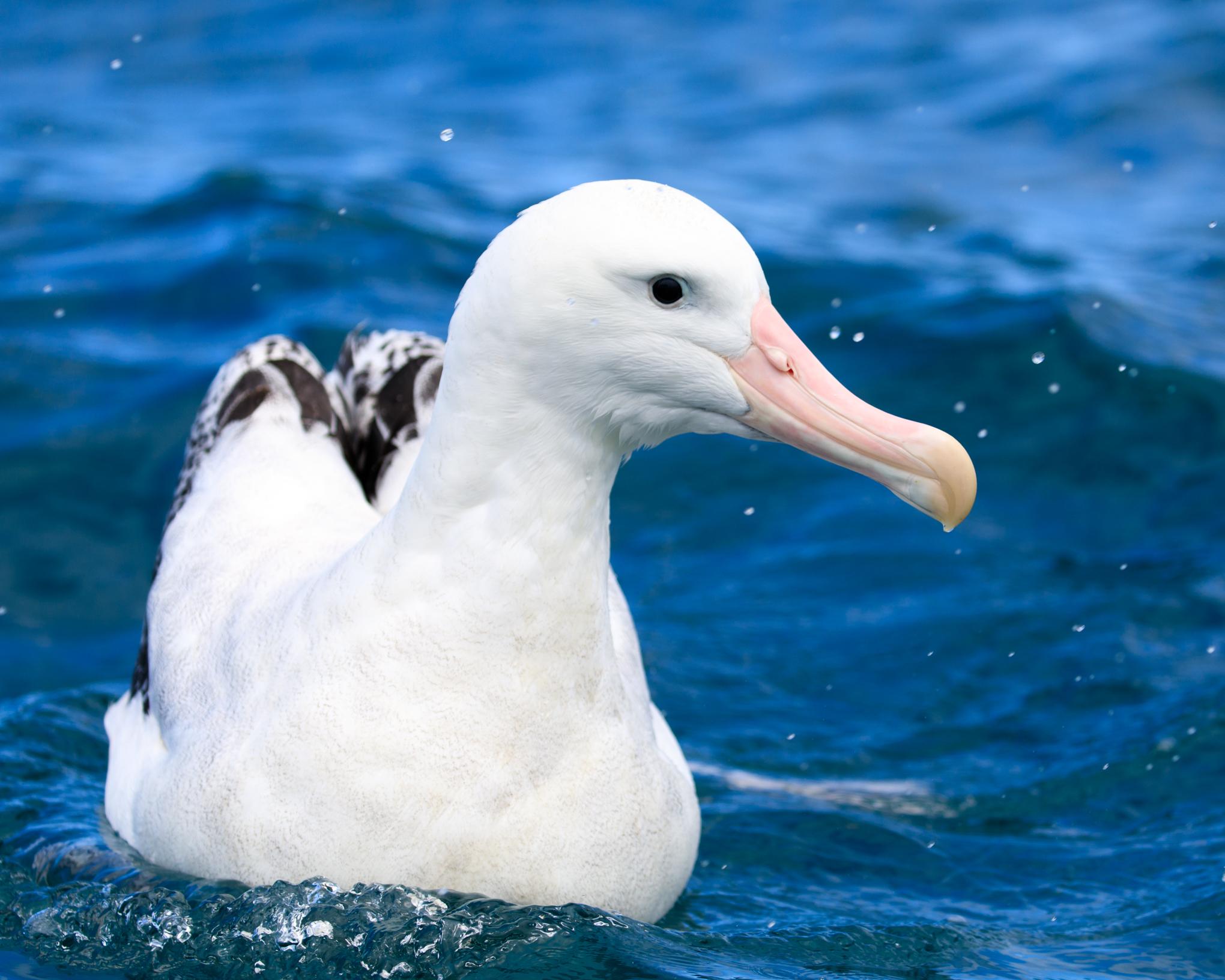 Gibsons Wandering Albatross