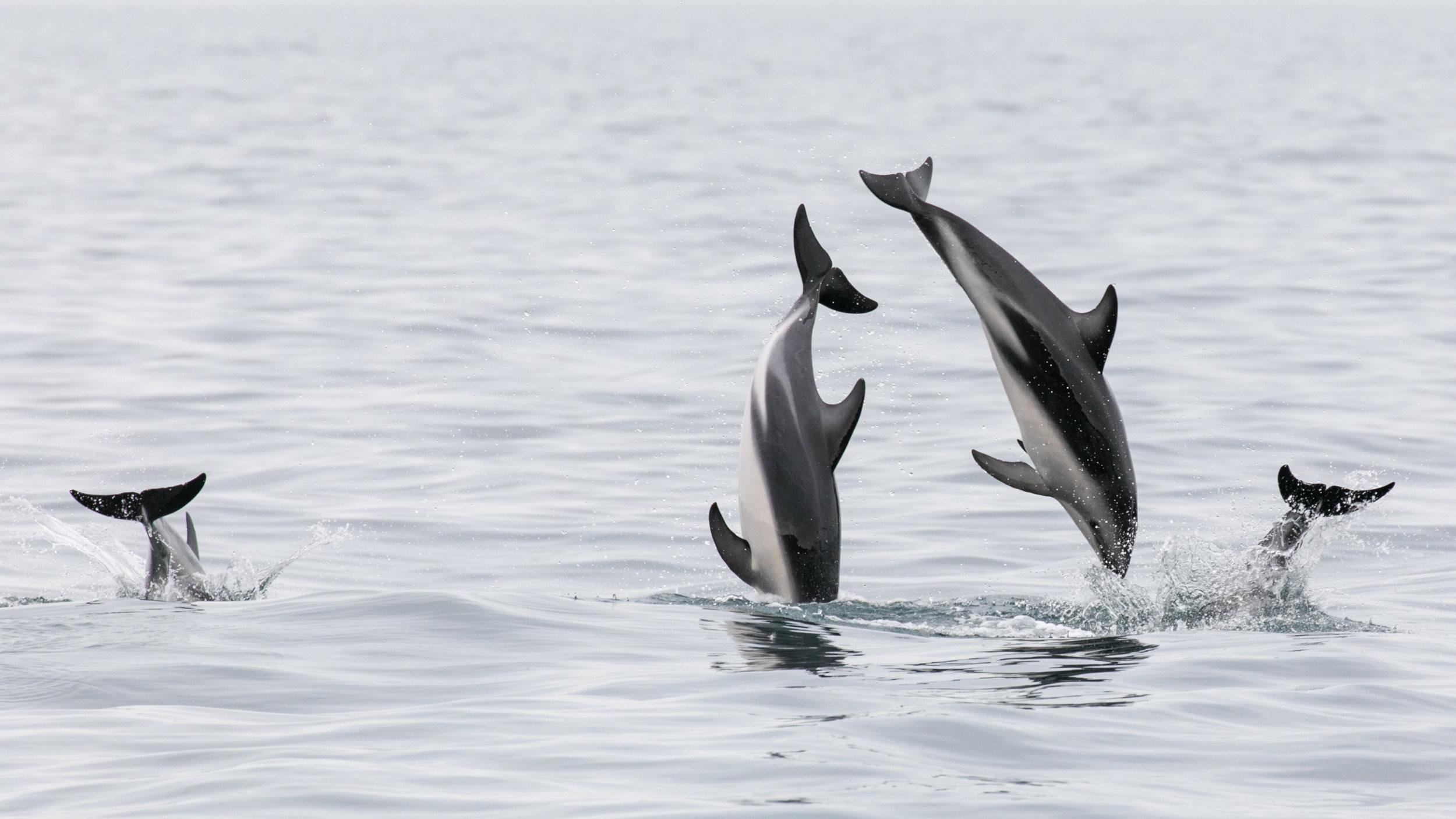 Playful Dusky dolphins - Kaikoura NZ