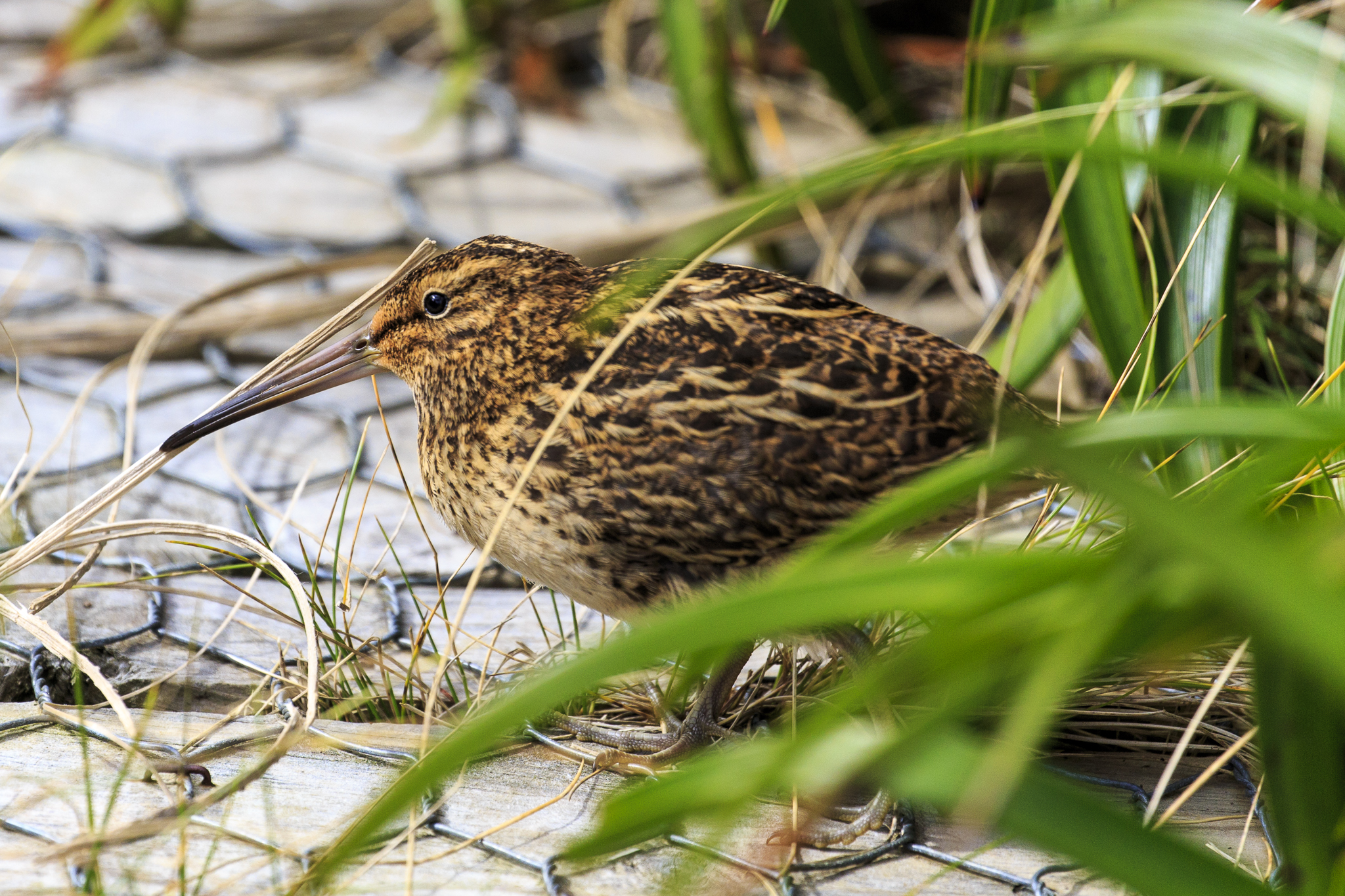 Campbell Island Snipe (just in case you were wondering)