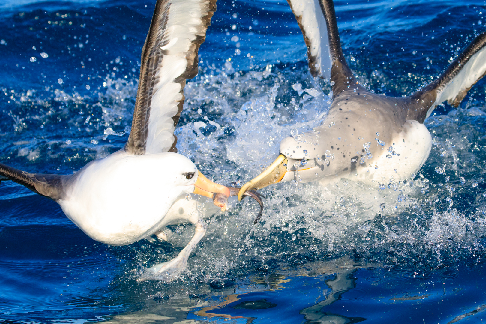 Can't beat an albatross food fight