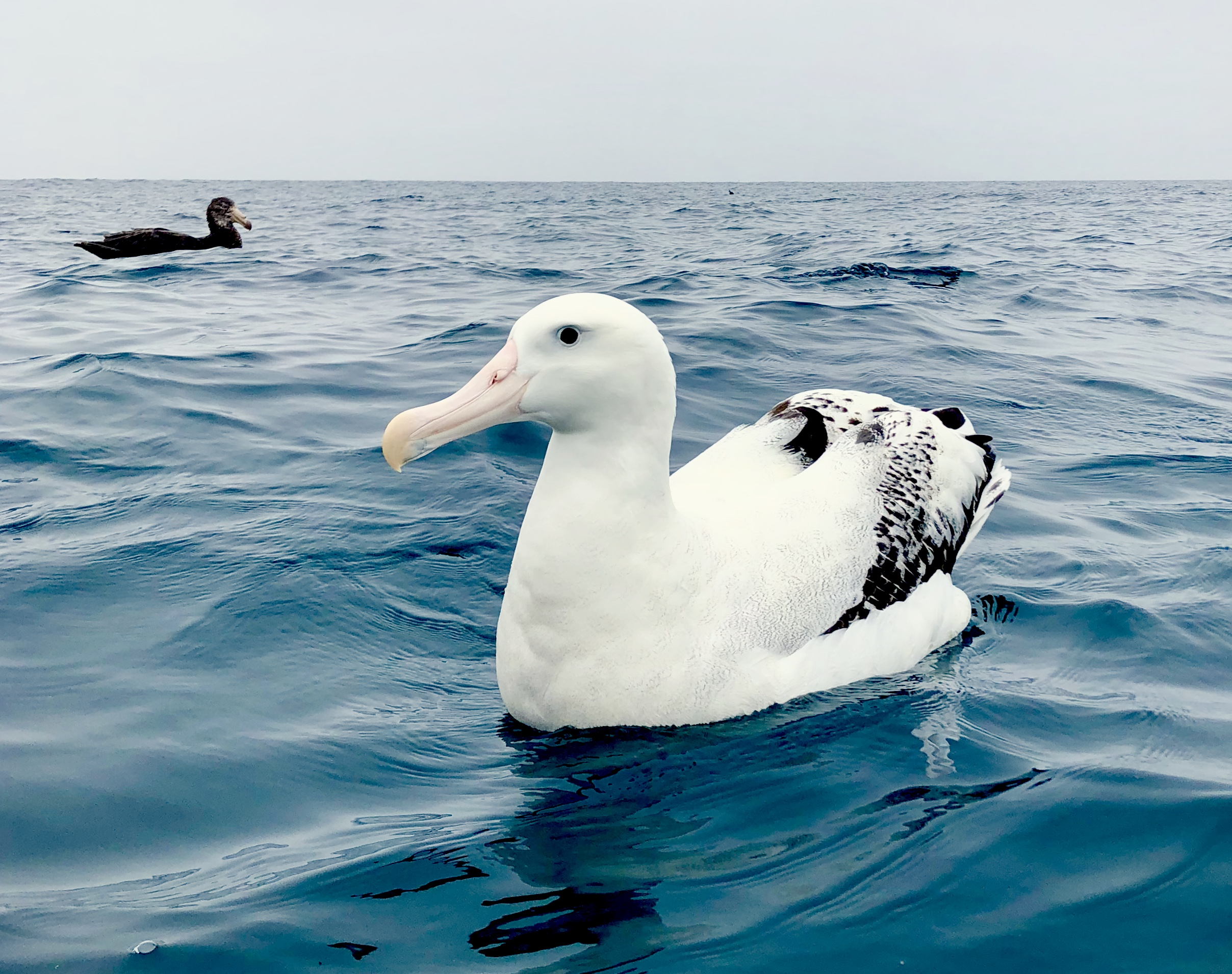 An iphone albatross