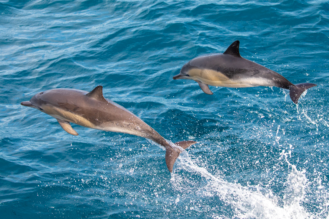 Tamzin Henderson - Otakou Sealord Cook Strait 2018 Common Dolphin.jpg