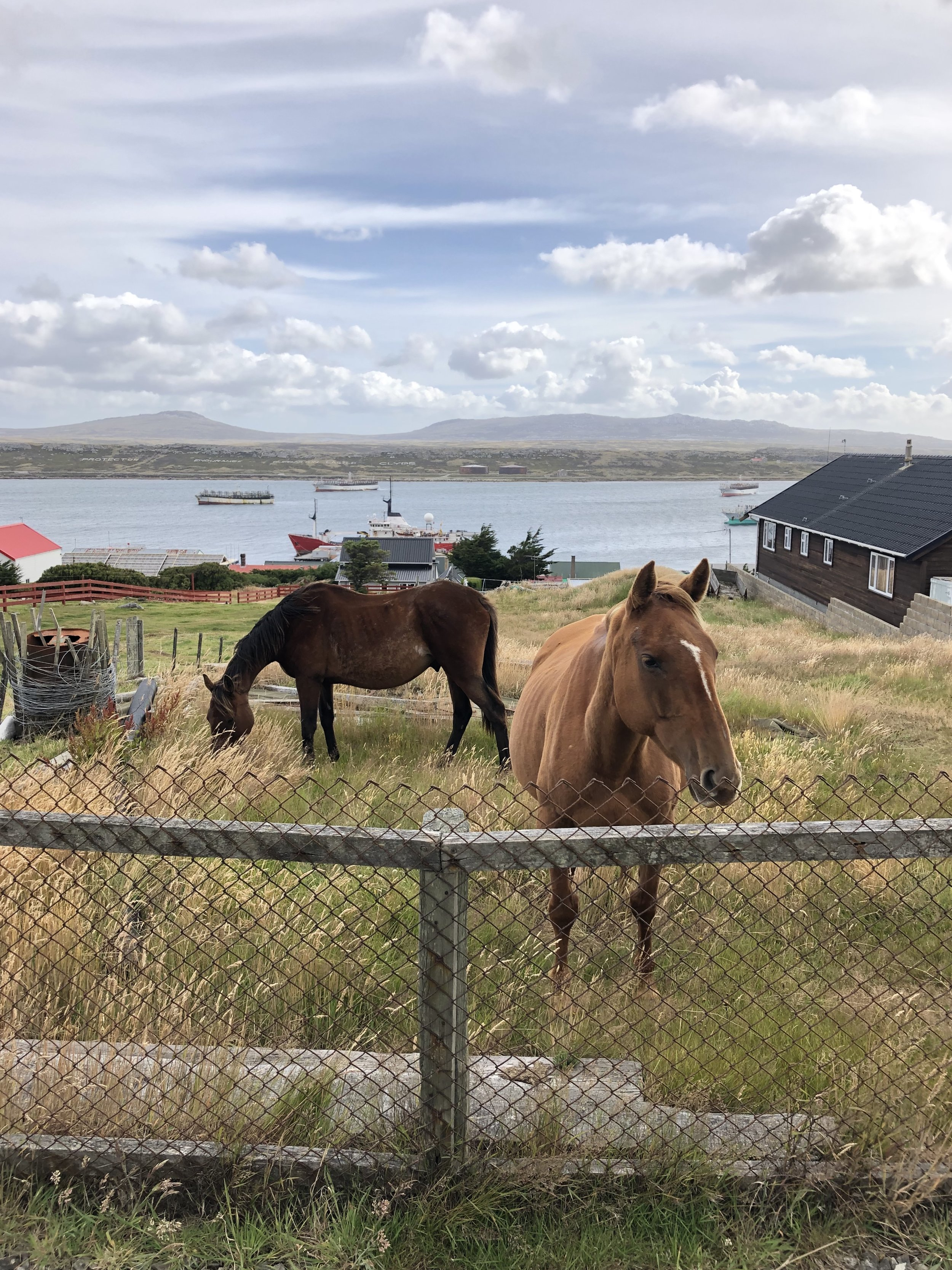 Urban horses and squid jiggers (the boats in the background) will always now remind me of the Falklands