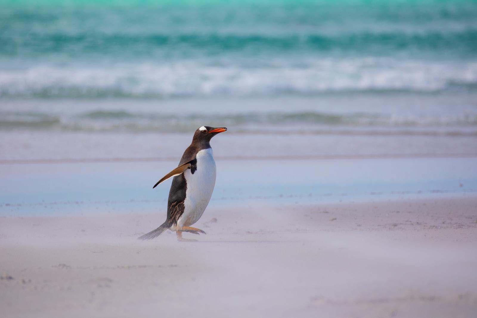 Gentoo and windswept sand