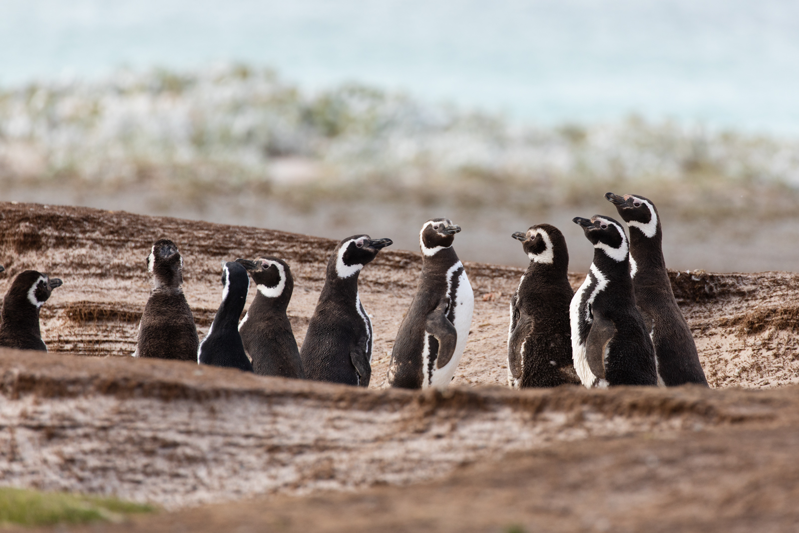 Magellanic penguins looking a little like meercats