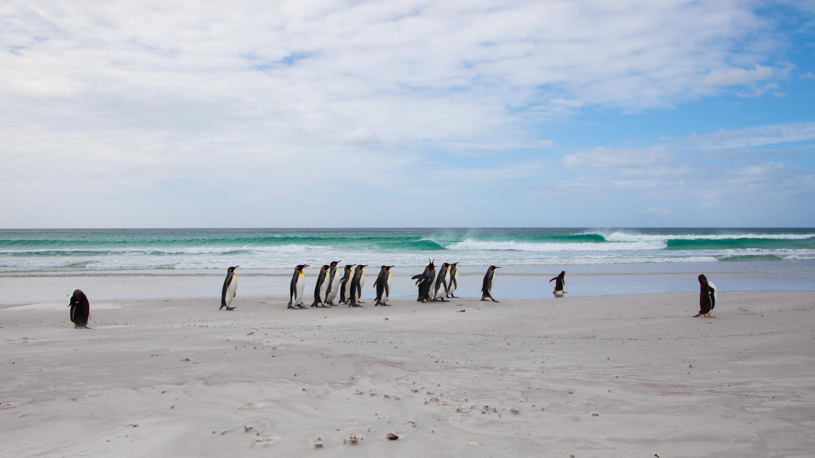 A parade of penguins