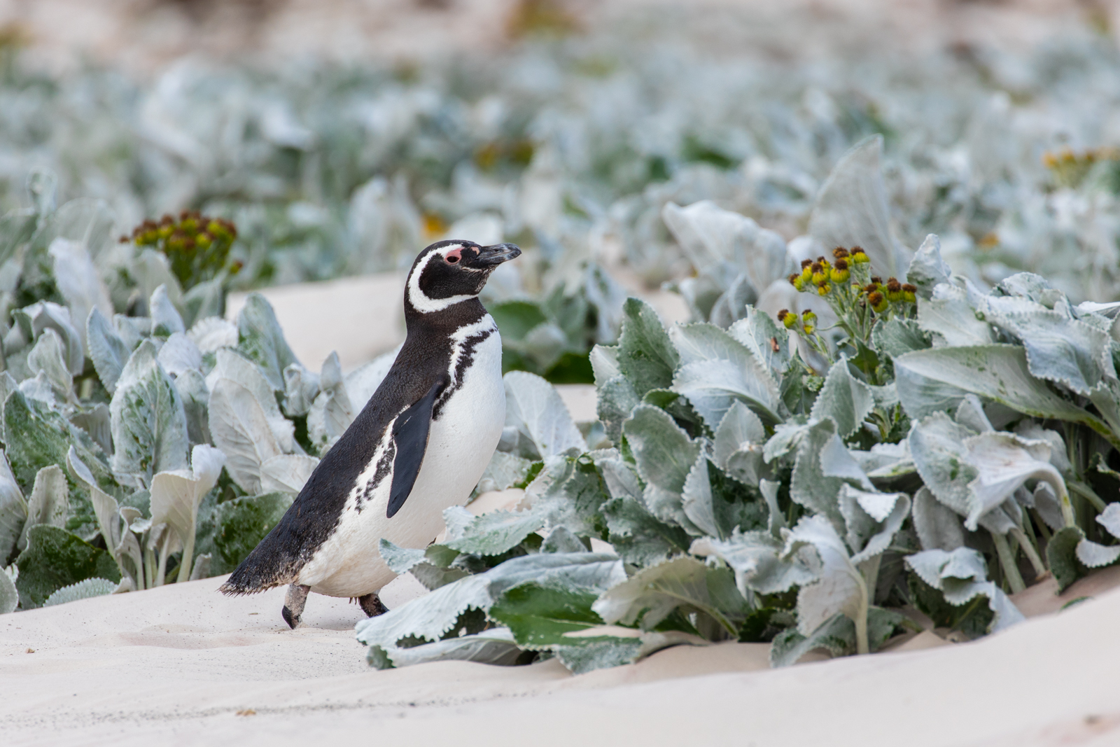 A Magellanic penguin among the wild flowers