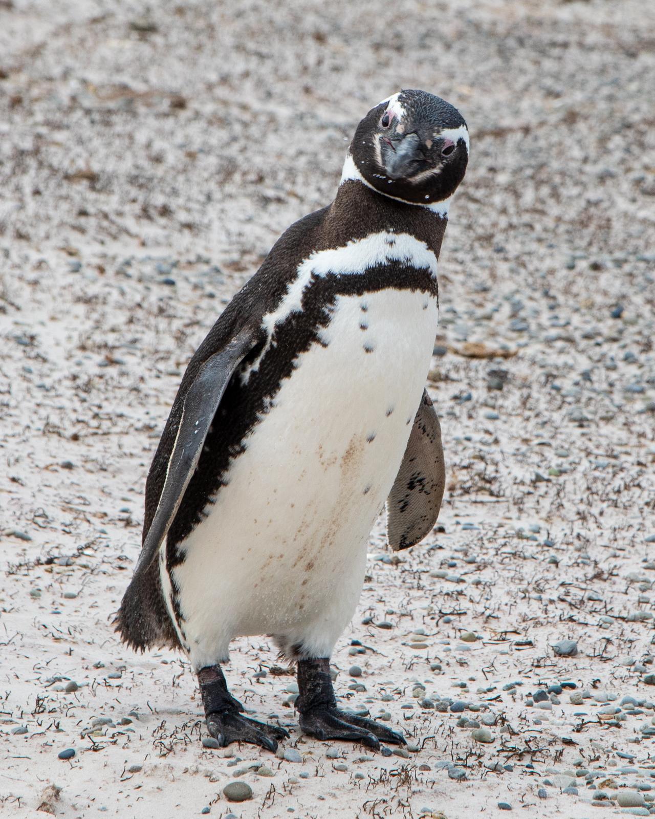 Magellanic Penguin saying goodbye