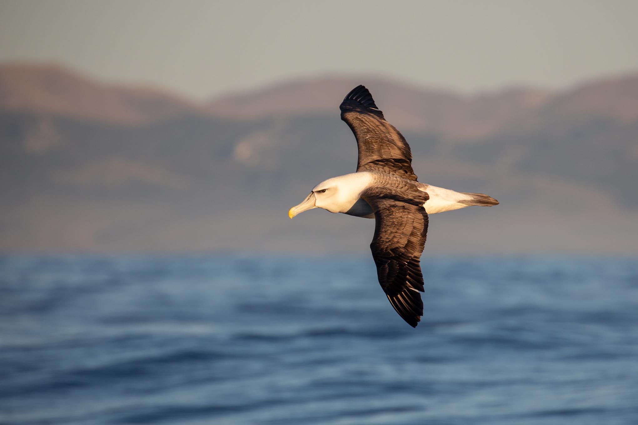 White- Capped Albatross, Moeraki