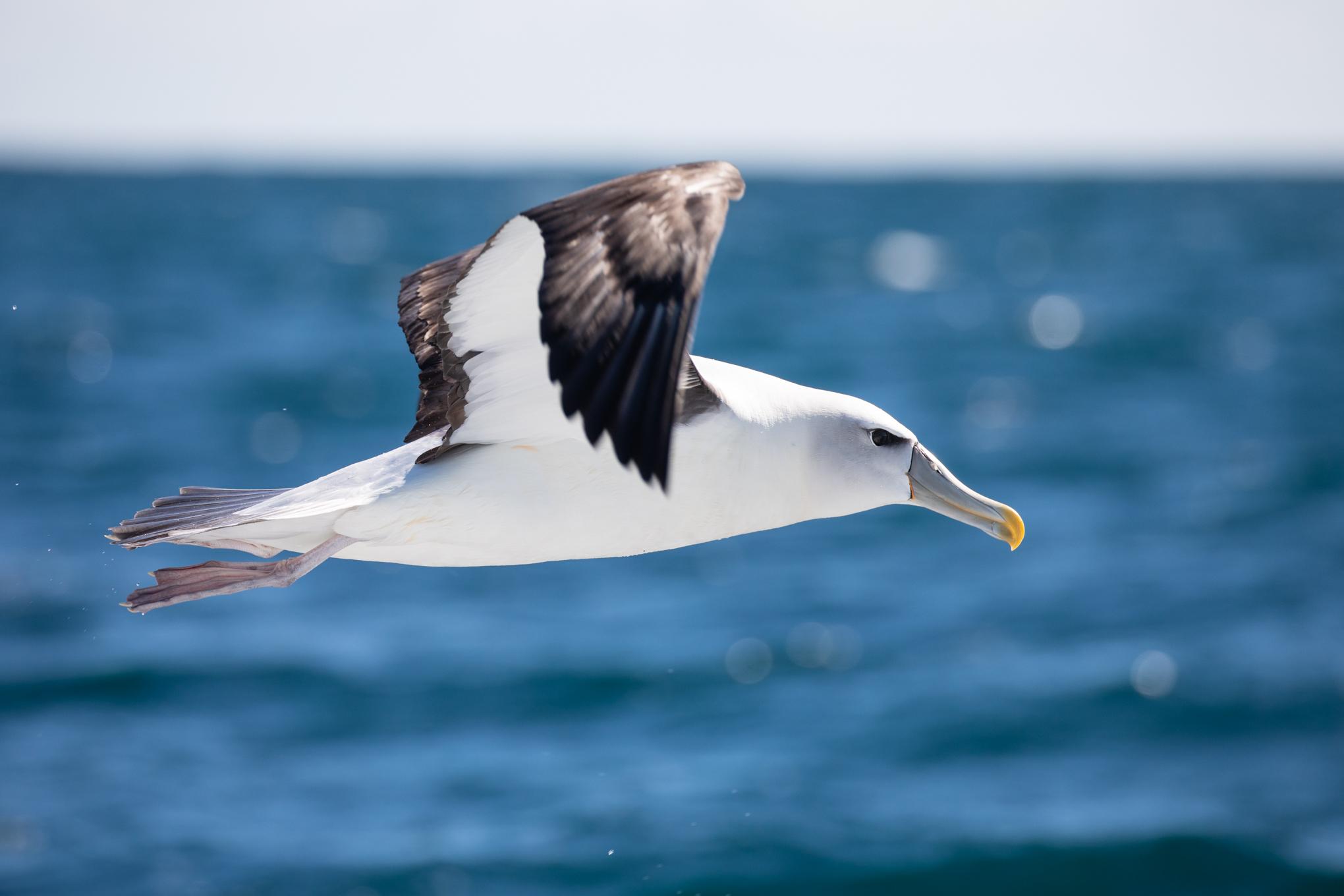 White-Capped Albatross, Moeraki
