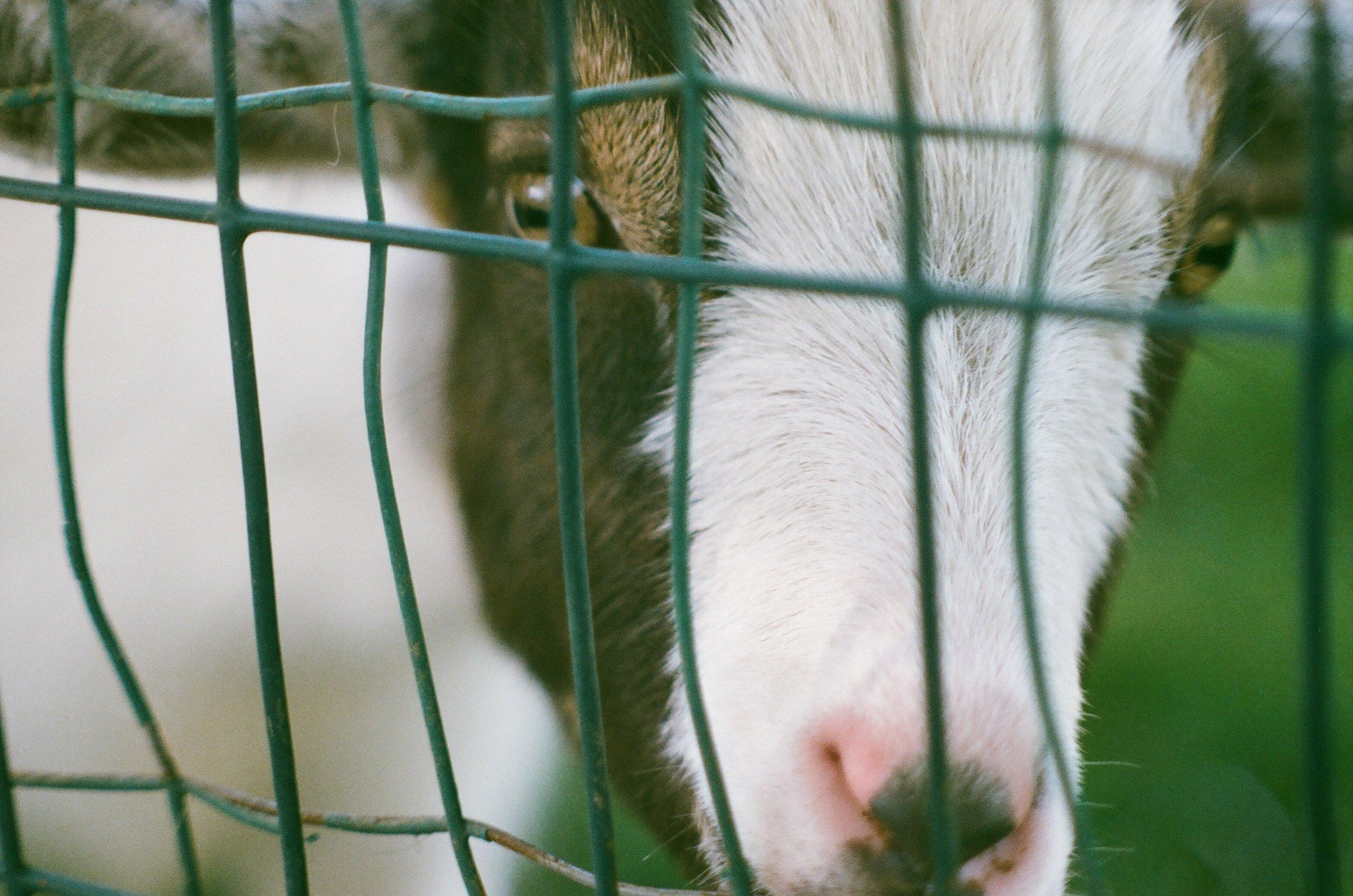 Goat_Up_close.jpg