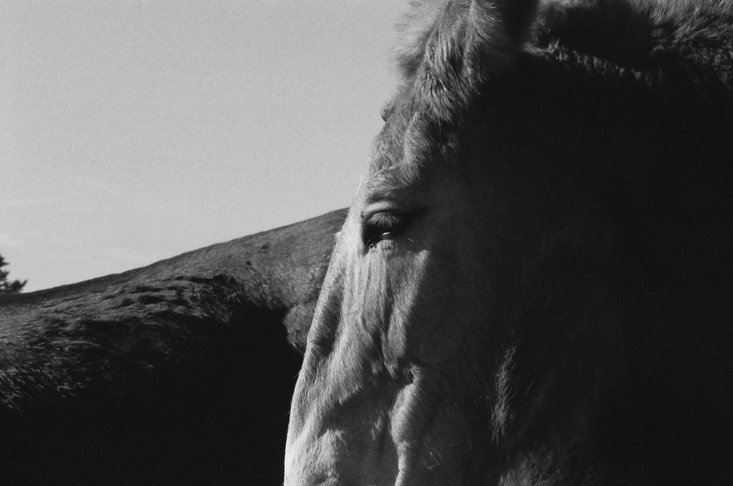 Horse_profile_Pennsylvania.jpg