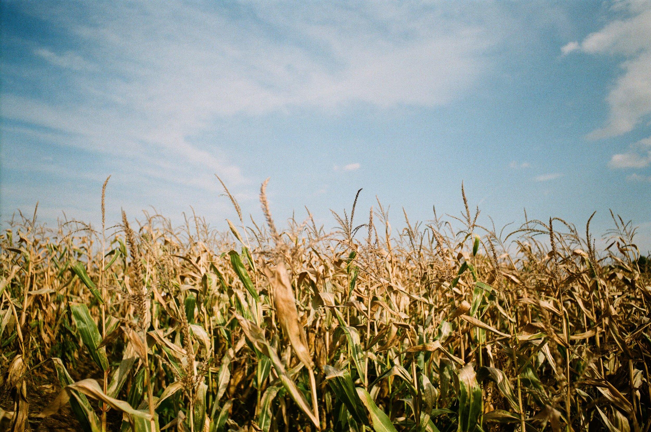 Wheat_and_sky.jpg