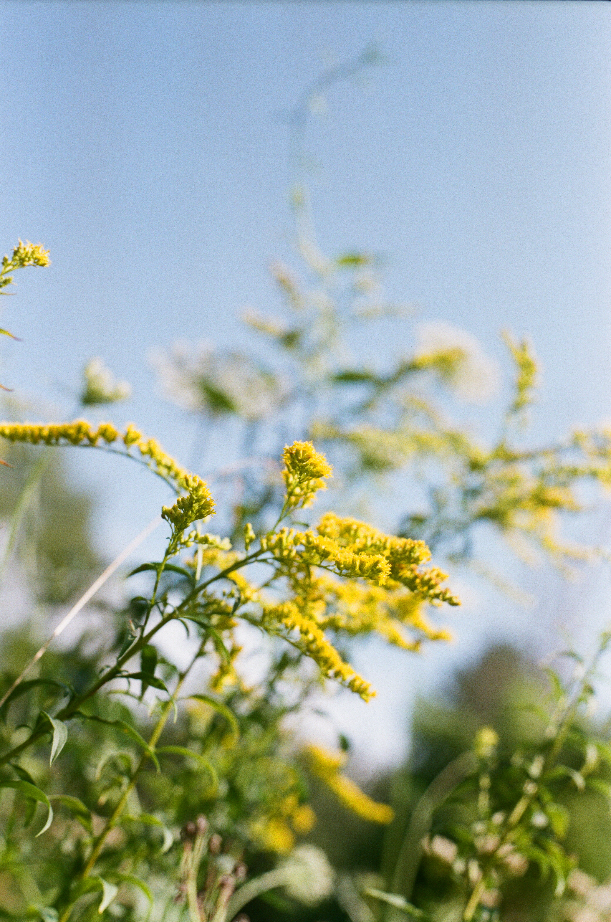 Goldenrod by Anne-Marie Mueschke Photography