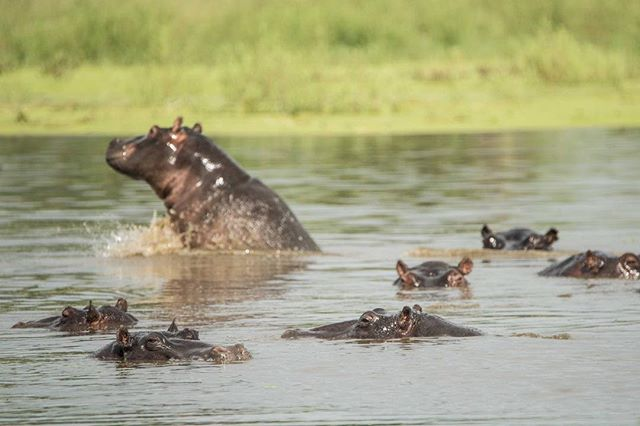 When your photographing hippos and out of nowhere one just breaches out of the water ! #hippoday