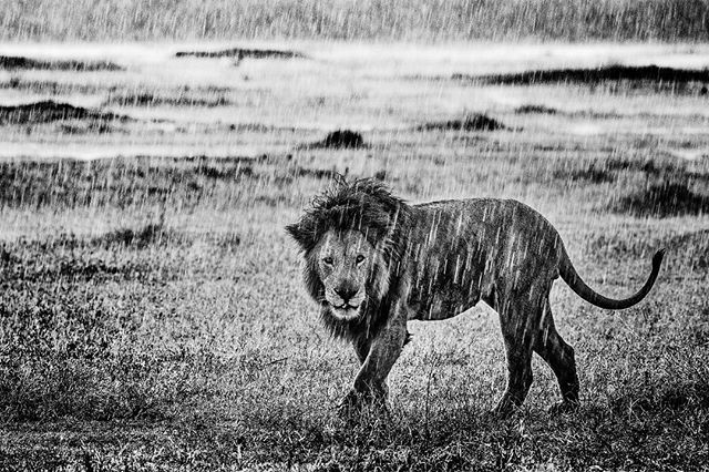 Even big cats hate the rain... @comedywildlifephoto @lions #lion
