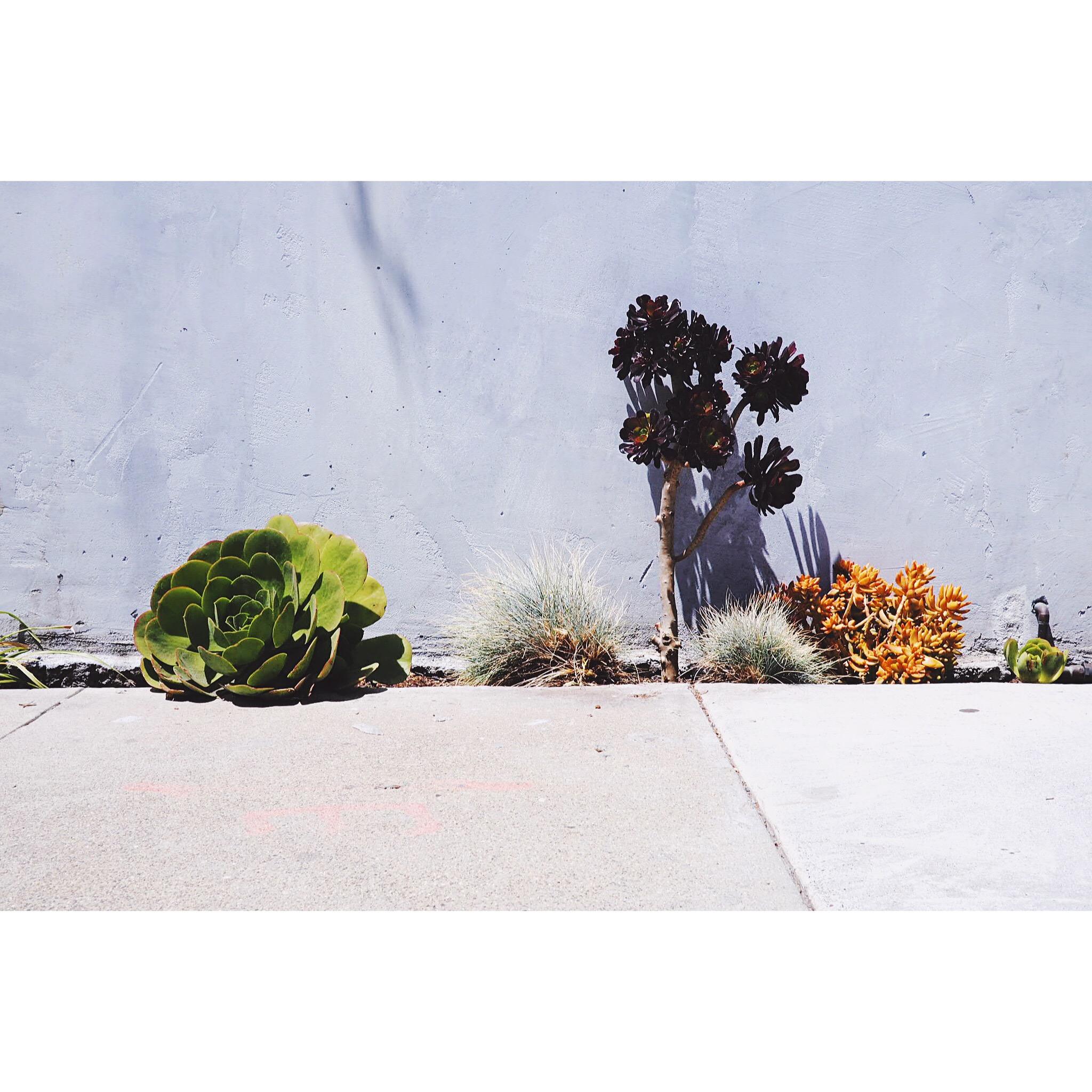 San Francisco Street Succulents
