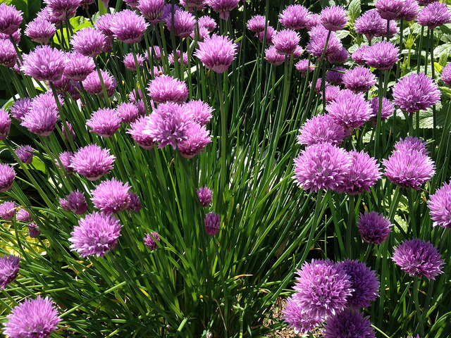 growing_fresh_chives.jpg
