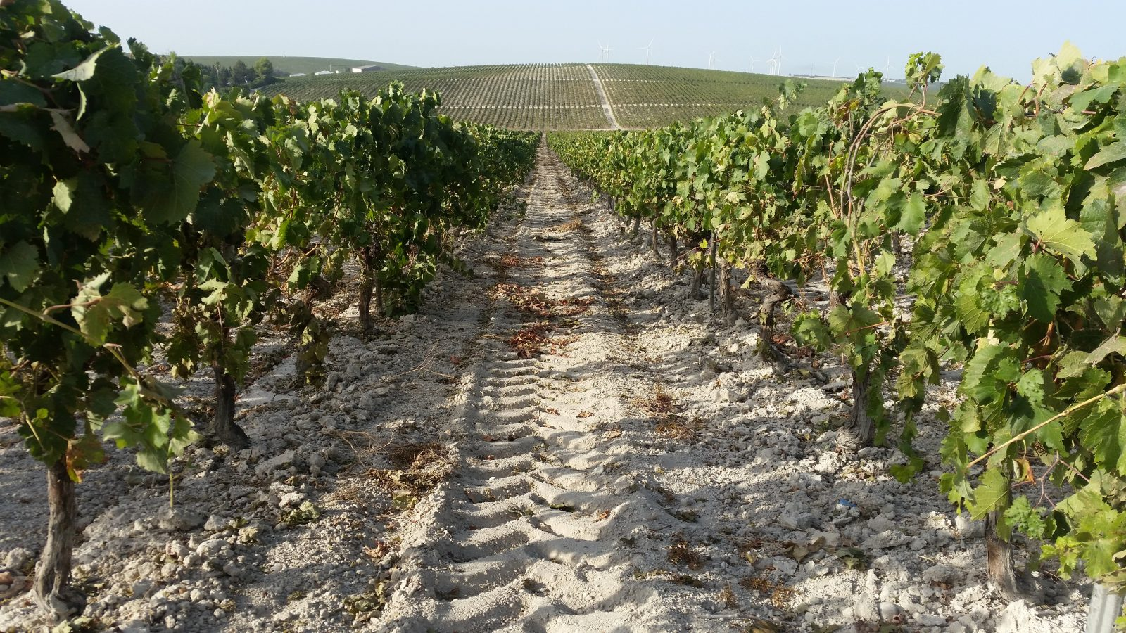 Valkoinen albariza-maaperä saa värinsä fossiileista