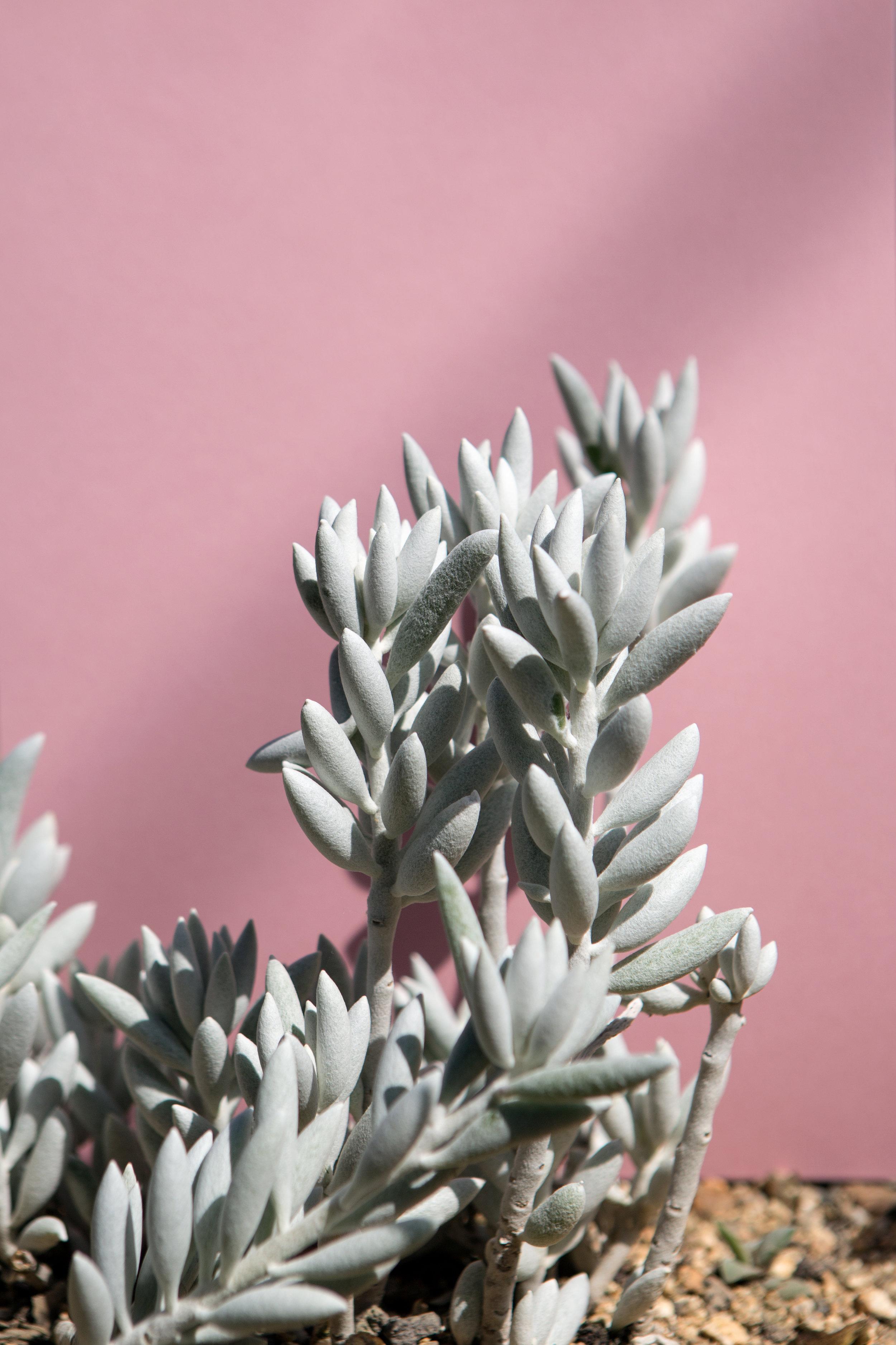 rosa_Plant_jacob_reischel1.jpg