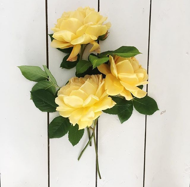 My first ever post: Yellow roses specifically mean dying love or platonic love