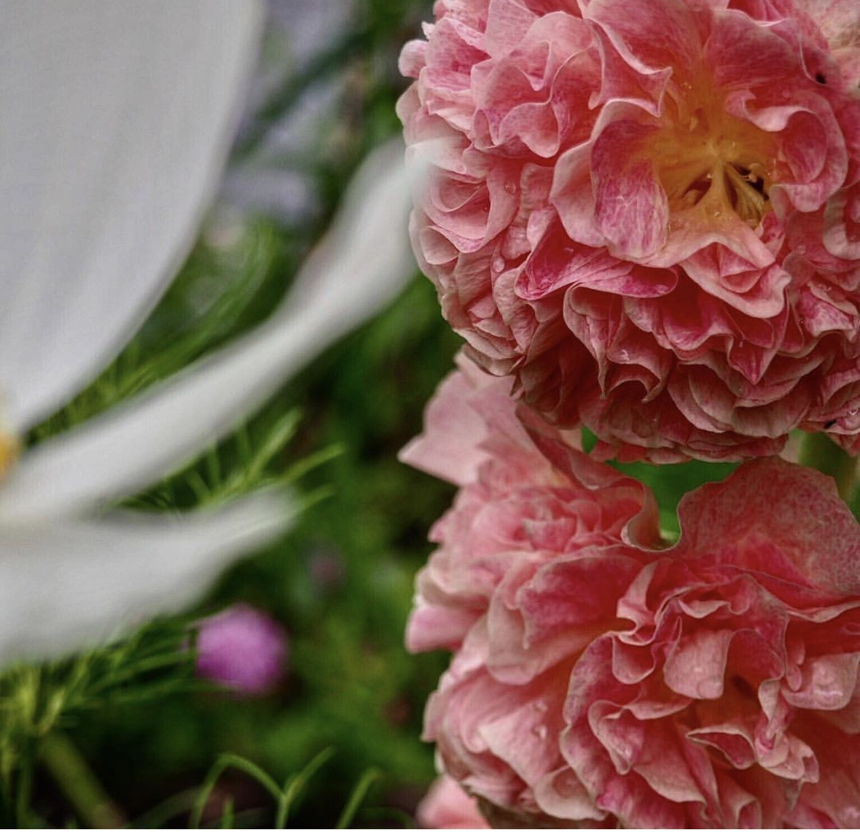 All the ruffles on this beautiful hollyhock