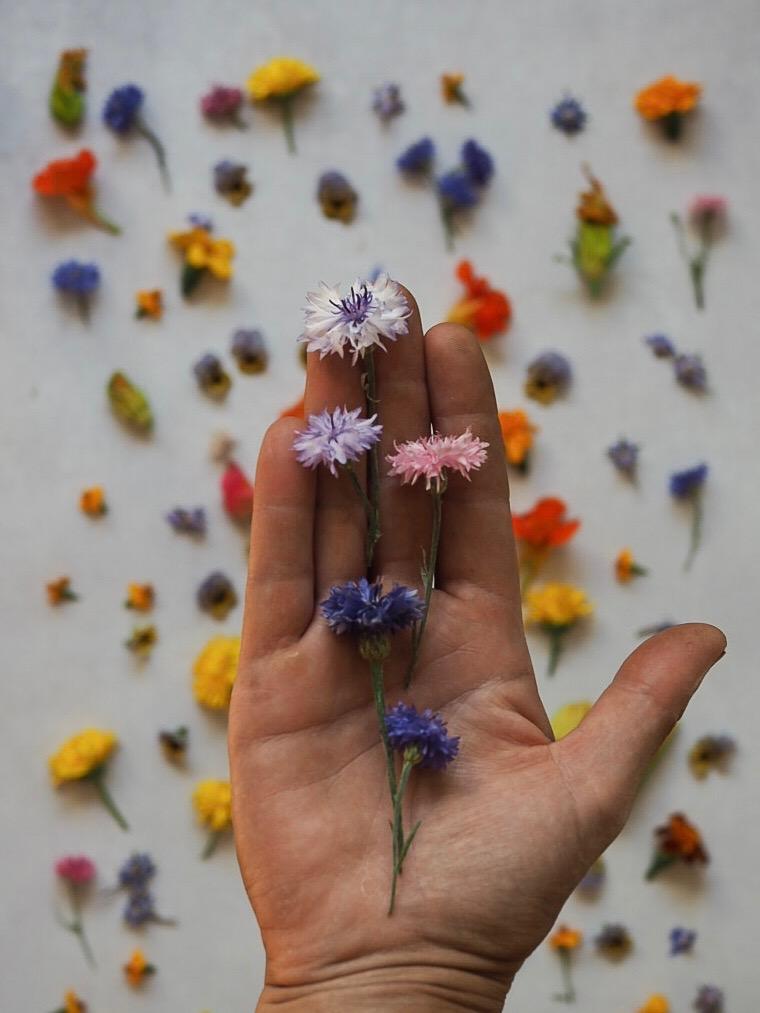 Cornflower edible flowers