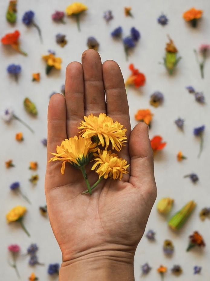 Calendula Edible Flowers