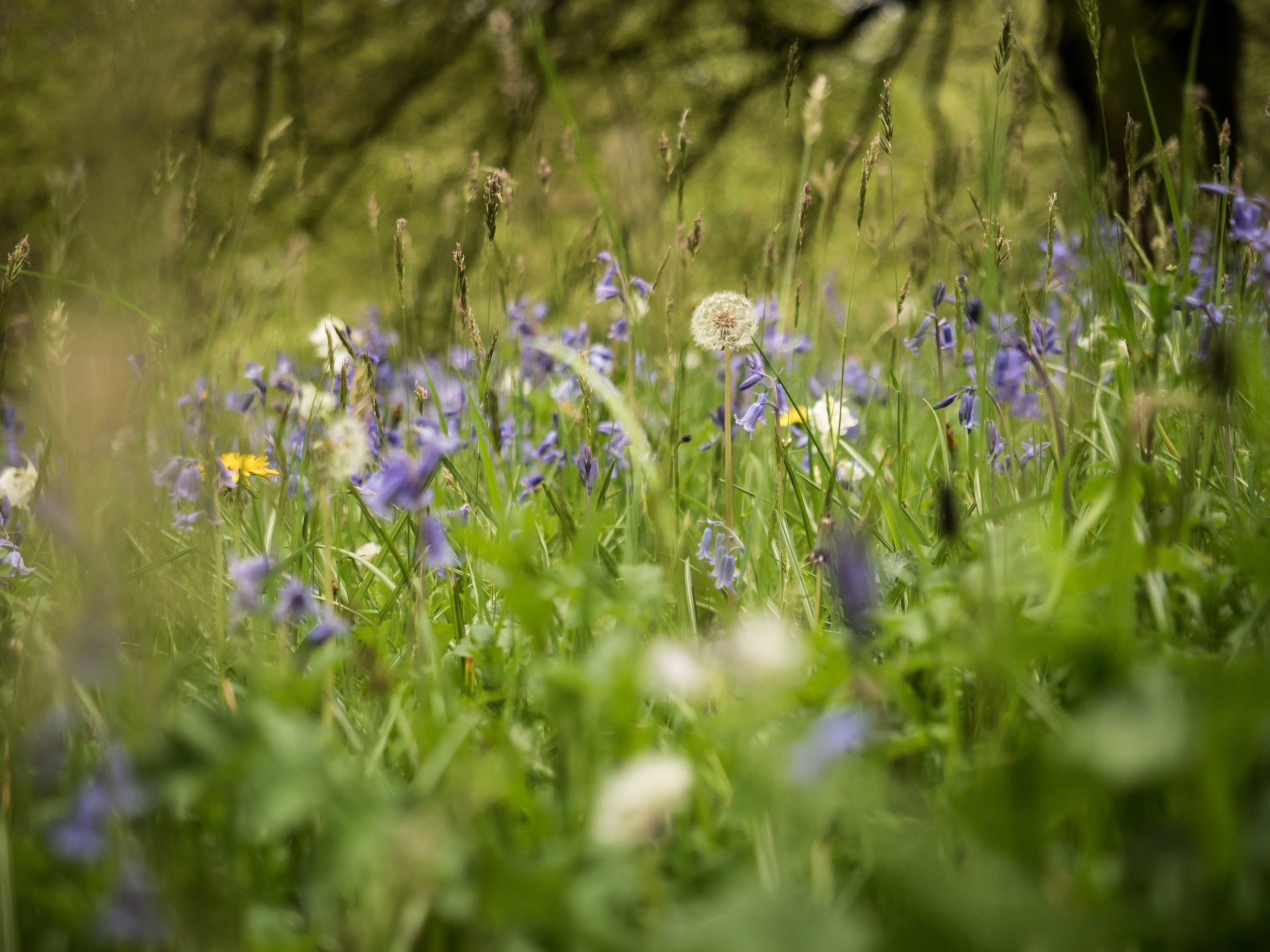 A field of wildflowers with dandelions and bluebells