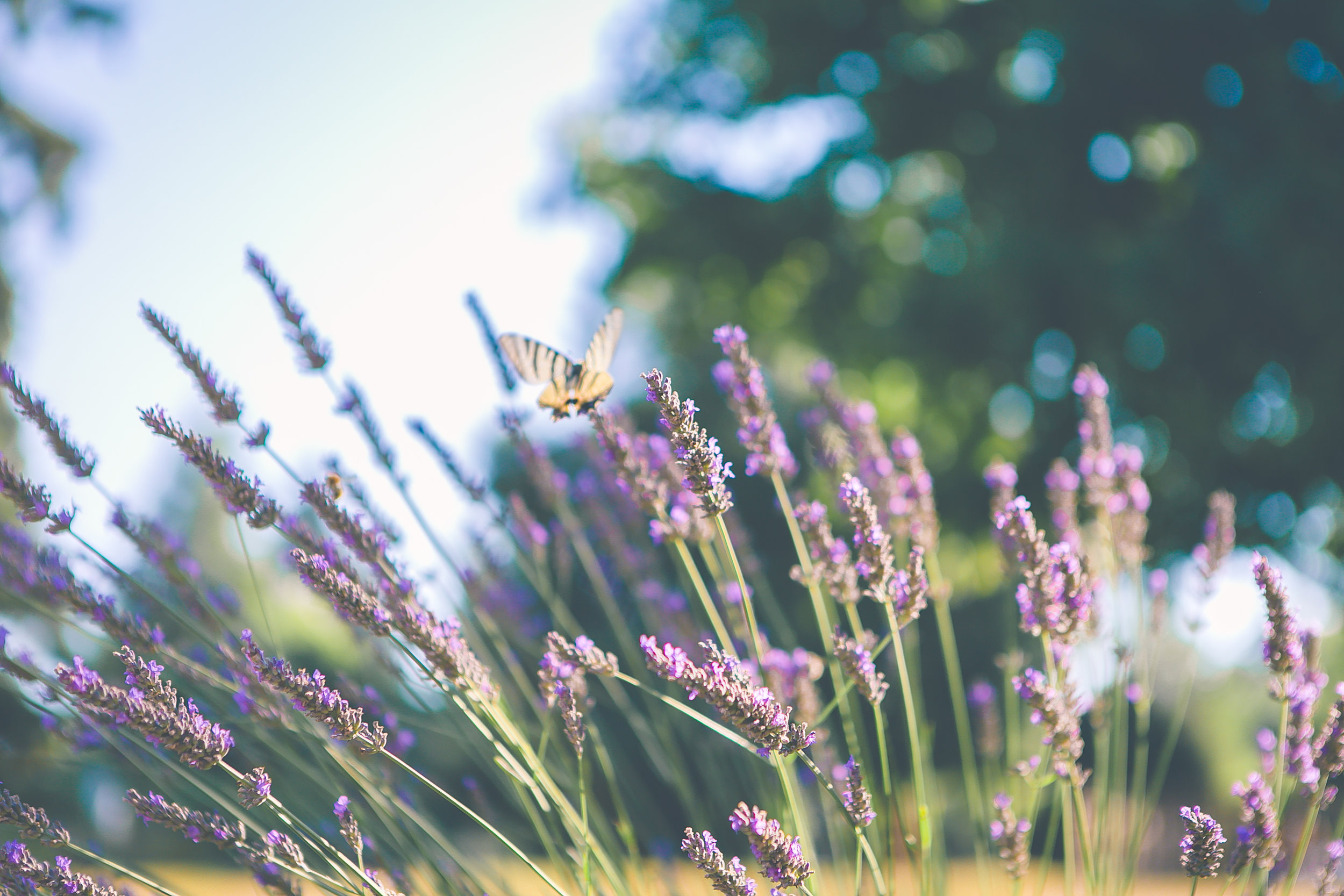 Lavender blossoming in the French Countryside