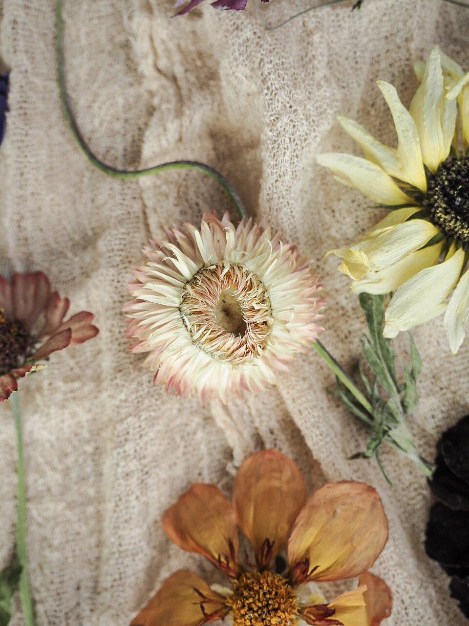 IMG_7461.jpgDried Strawflowers