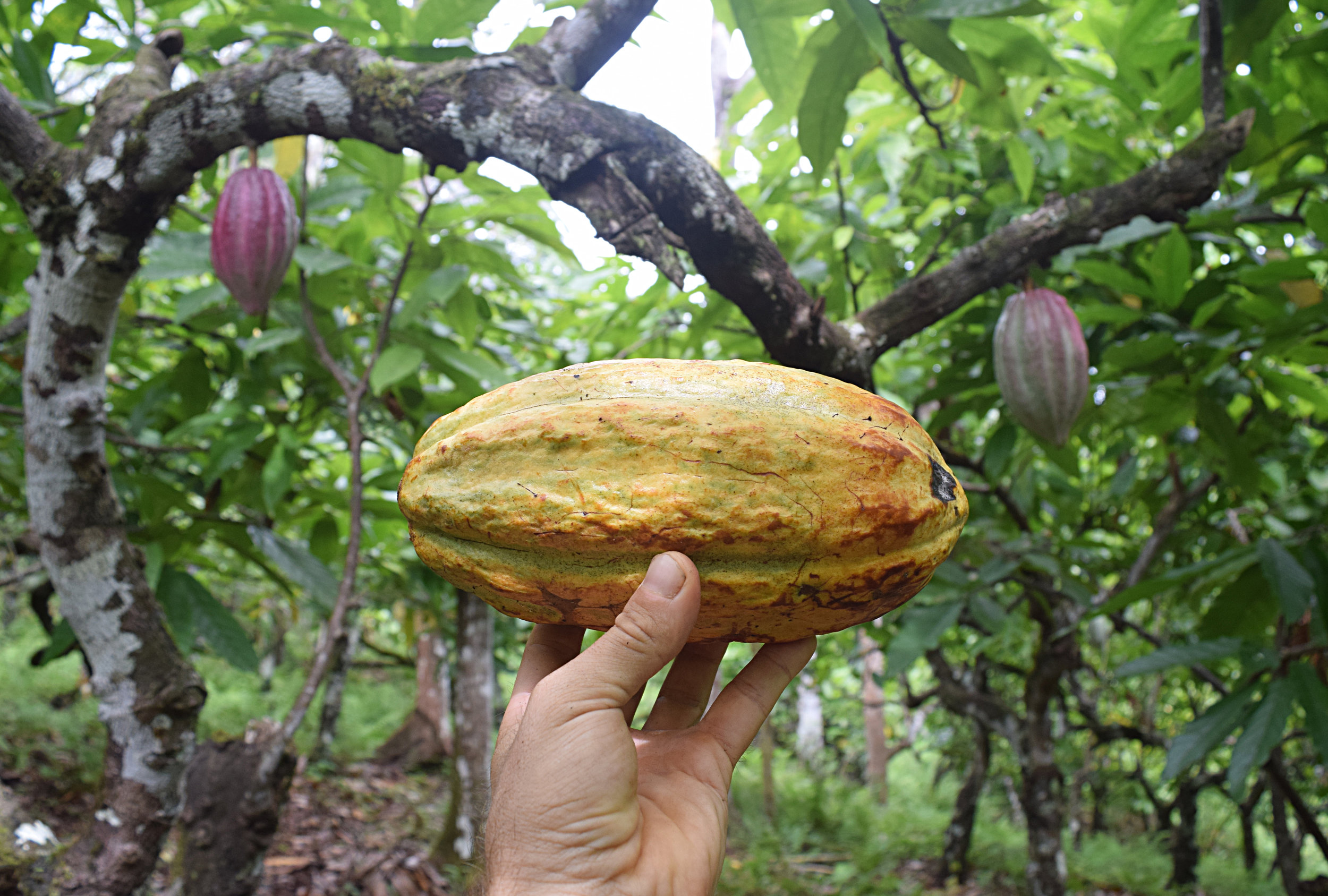 cacao costa rica permaculture