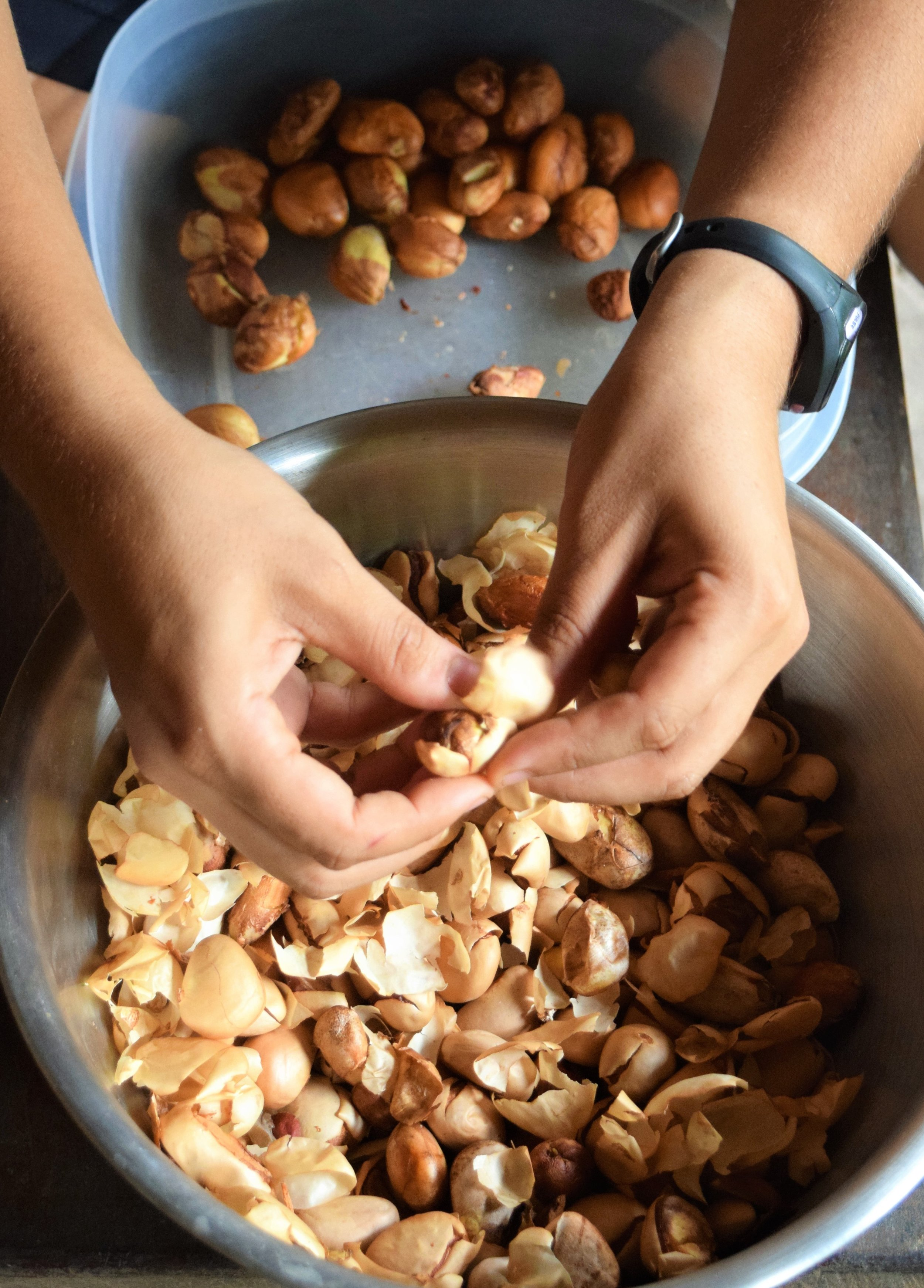 maya nut permaculture