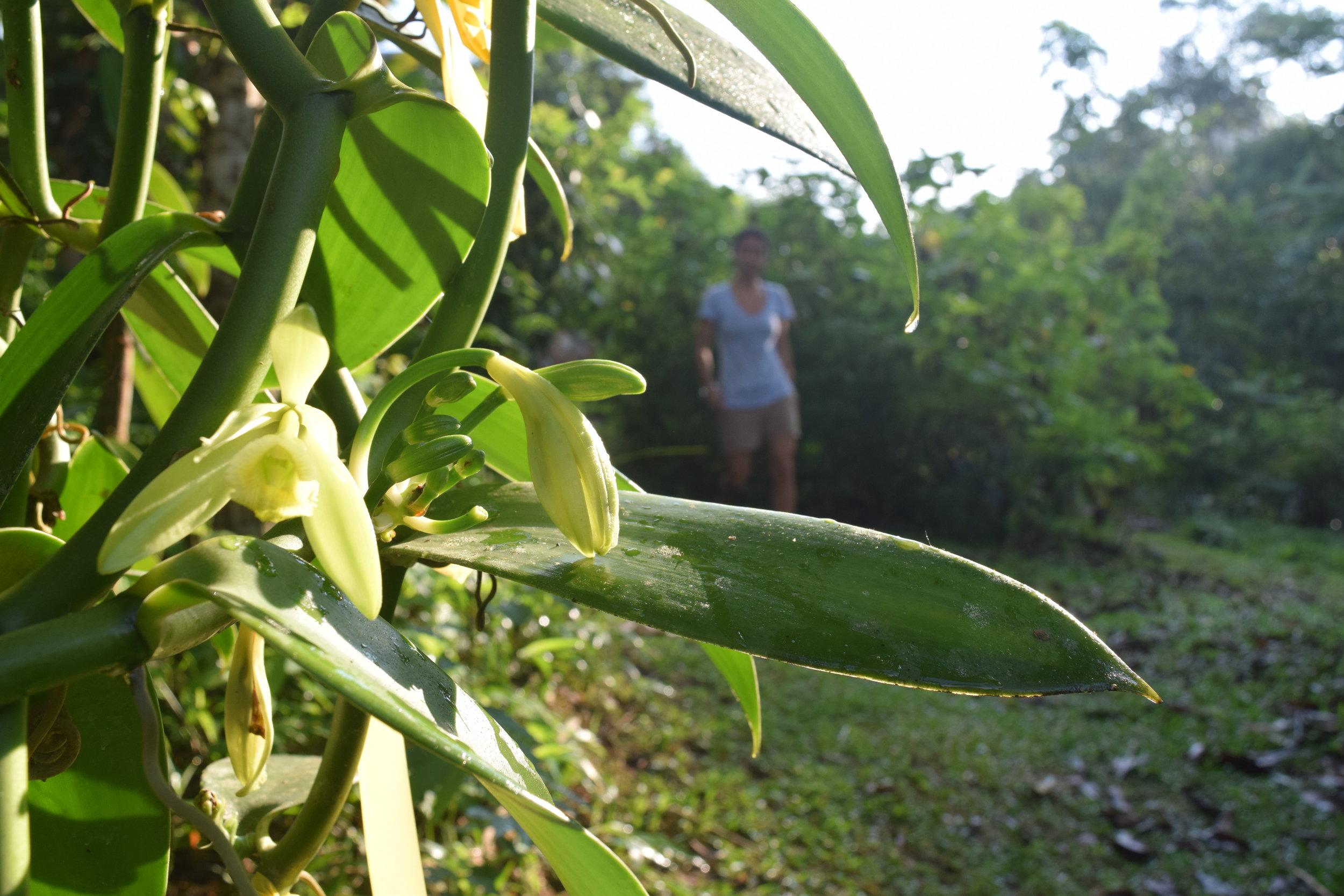 vanilla permaculture costa rica