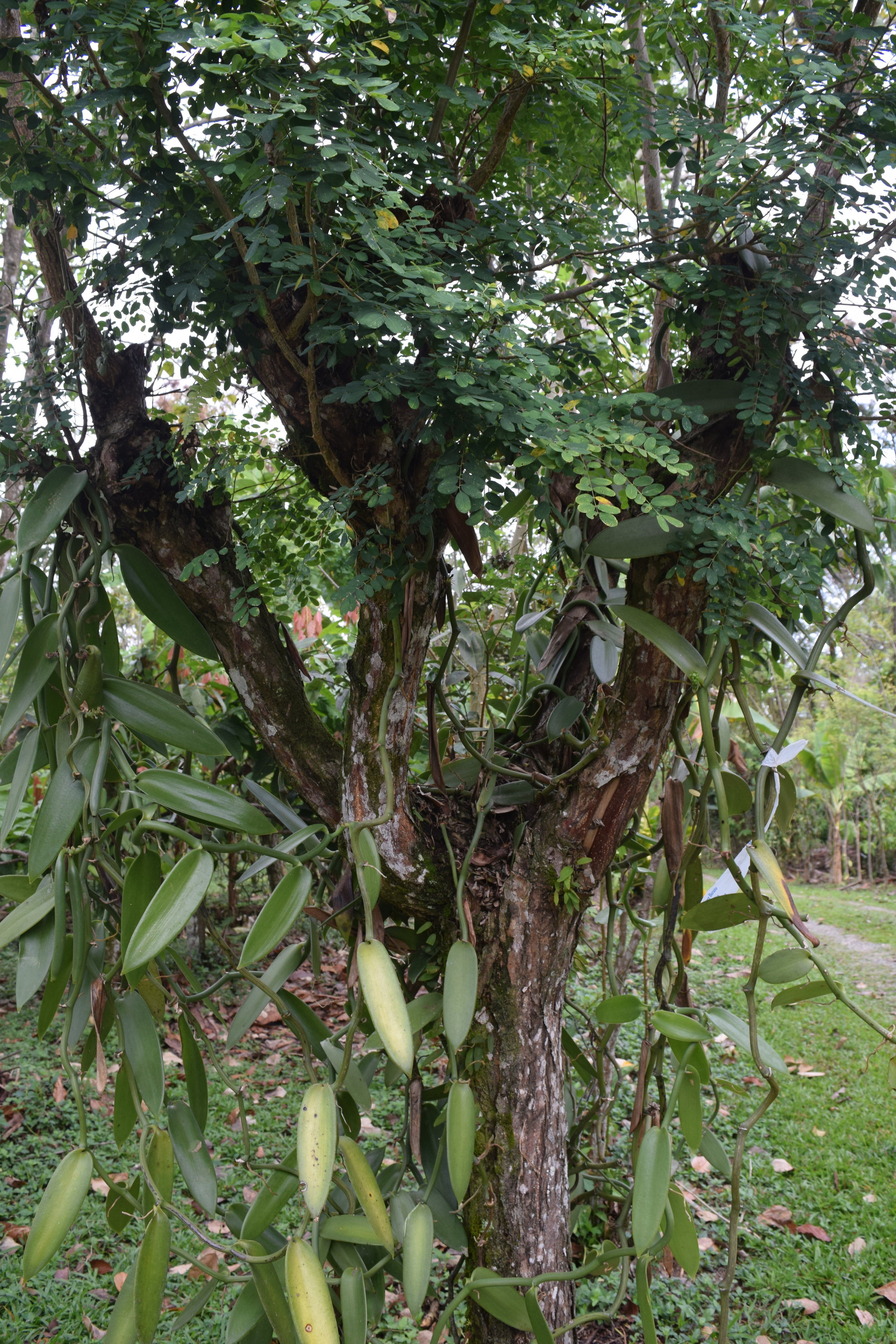 An excellent vanilla support post allows the vine to hang comfortably.