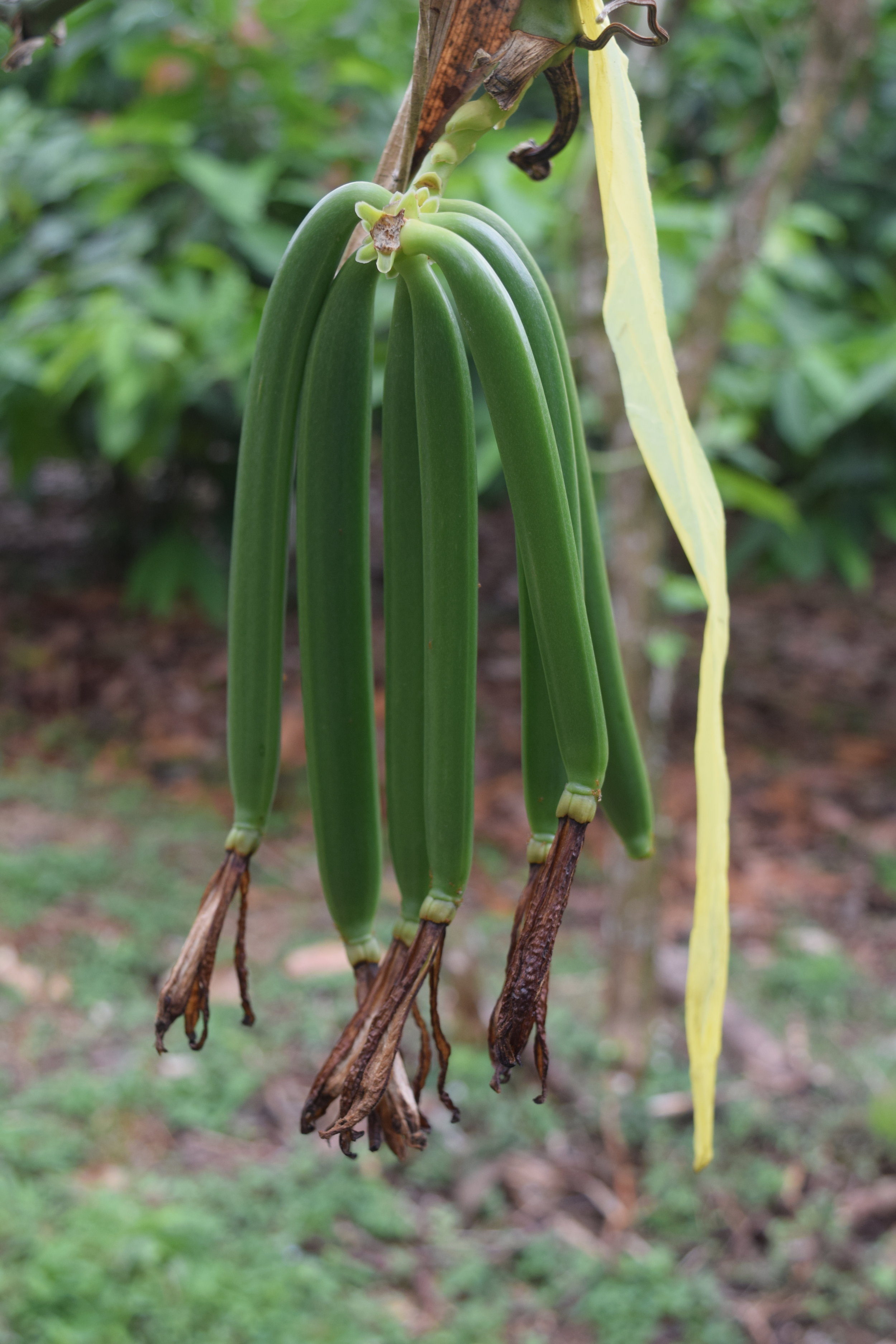 Vanilla pods growing to full size a few months after pollination.