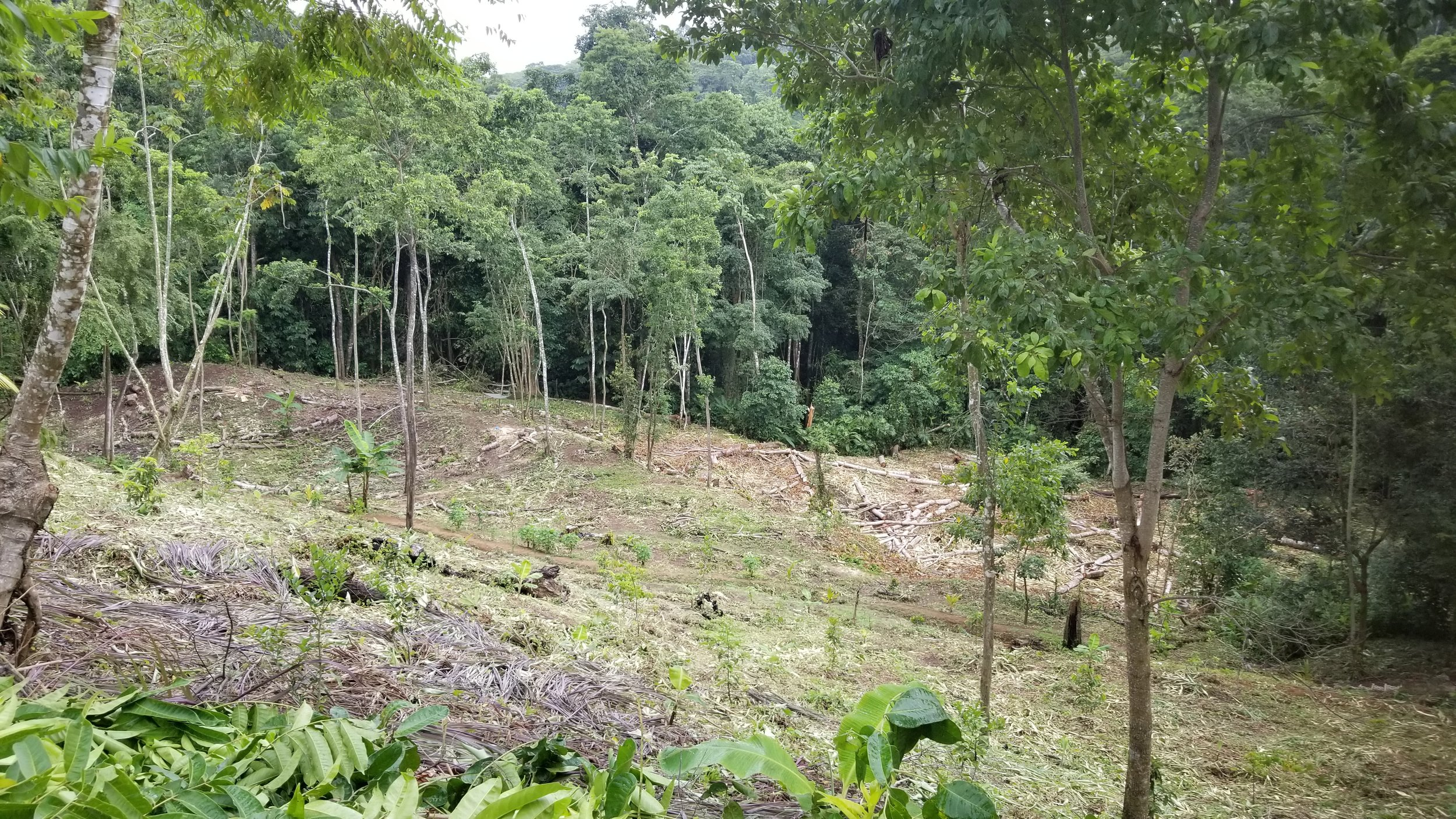 The recently clear site at Pura Vista with dozens of young fruit trees place din the ground.
