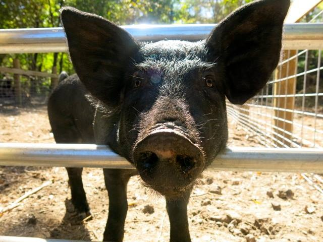 sunny pig.jpg