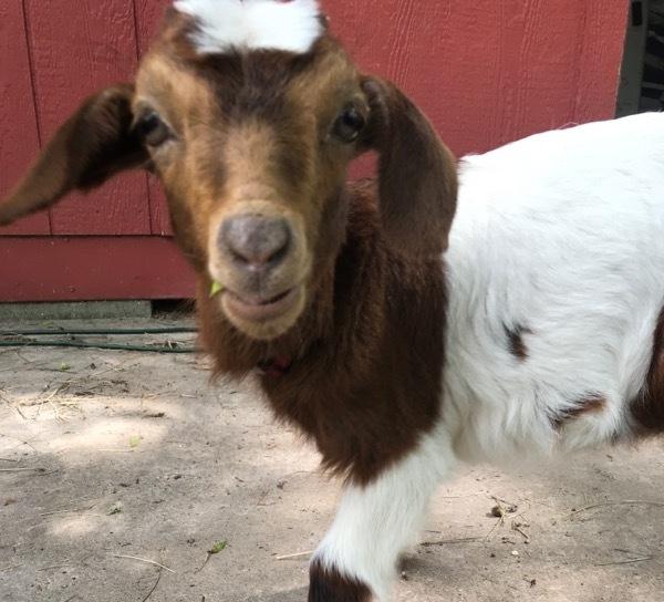 Frances, 1 of our 8 goat educators