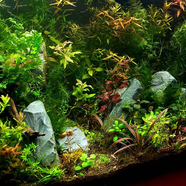 #ludwigia #fishfam #ada #aquascaping #17gallon #redtigercryptspiralis #freshwater #aquarium #watergardern #junglestyle made with plants from @h2oplants and @aquariumzen
