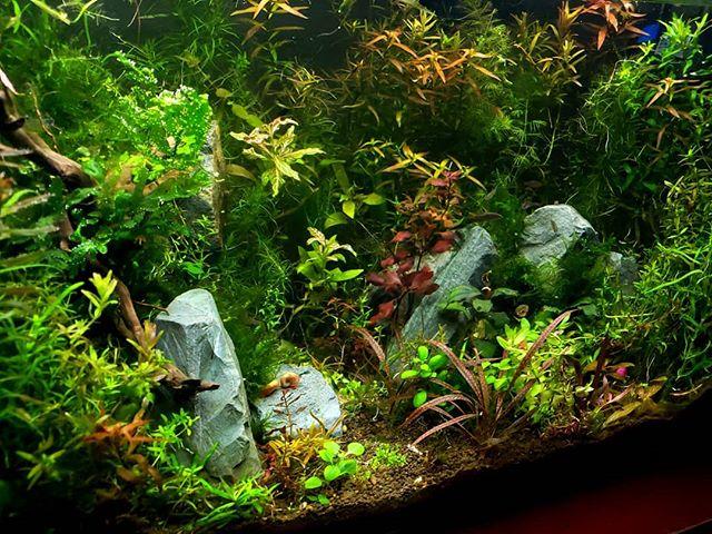 #aquascapin #scape #freshwater #ludwigia #rotala #redtigercryptspiralis #aquarium