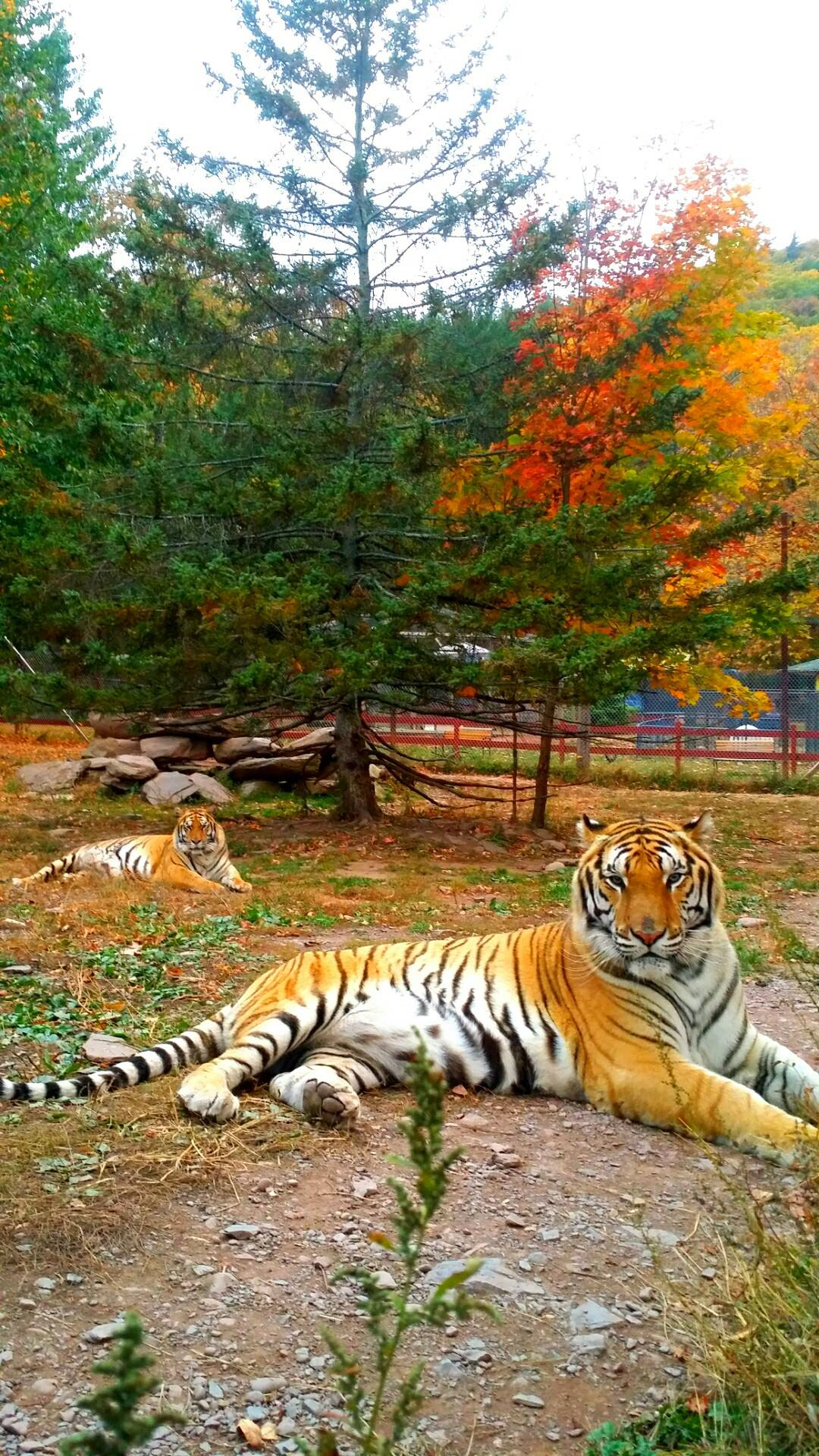Titan & Takara, Bengal Tigers