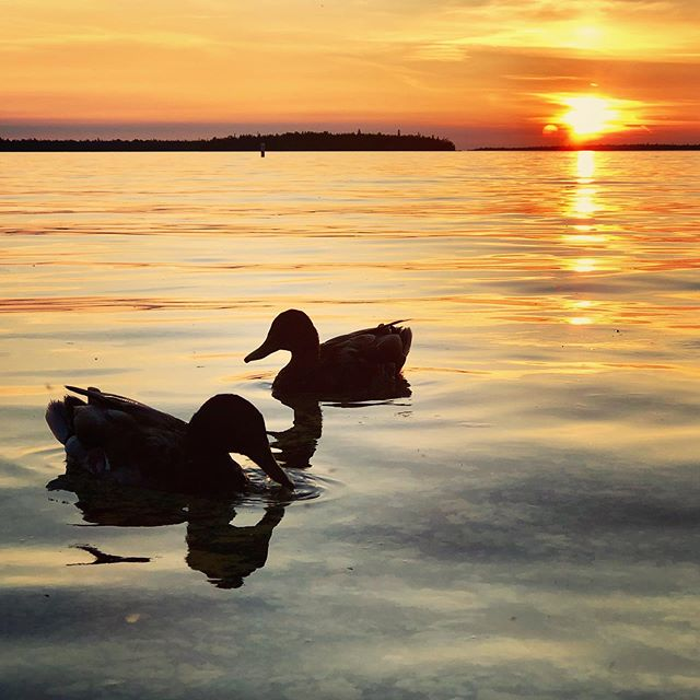 Anyone else love the sunsets in Tobermory 🙌☀️ #tobermory #brucepeninsula #tobermorysunsets #tacomory #ducks #sunset @bruce_peninsula_sunsets