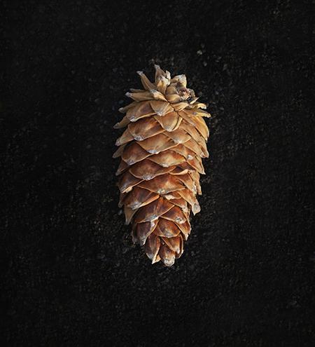 pinecone.jpg