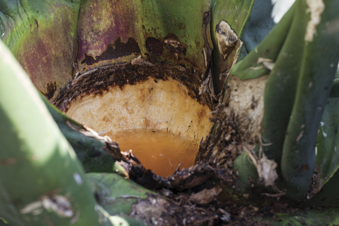 maguey-cultivo-planta