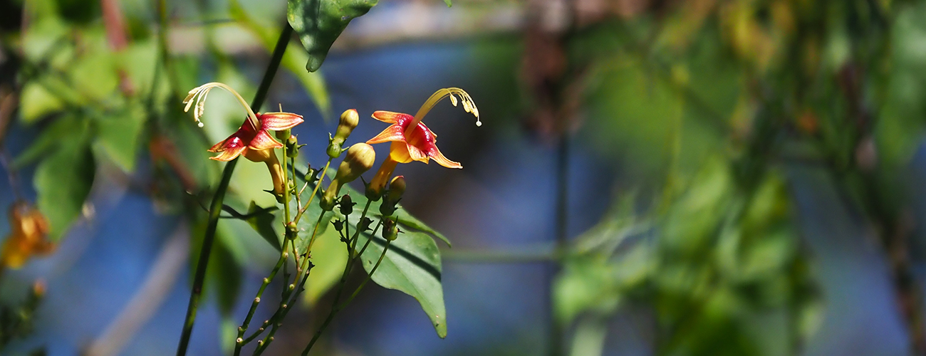 The Berylline Hummingbirds loved these gaudy tropical flowers.