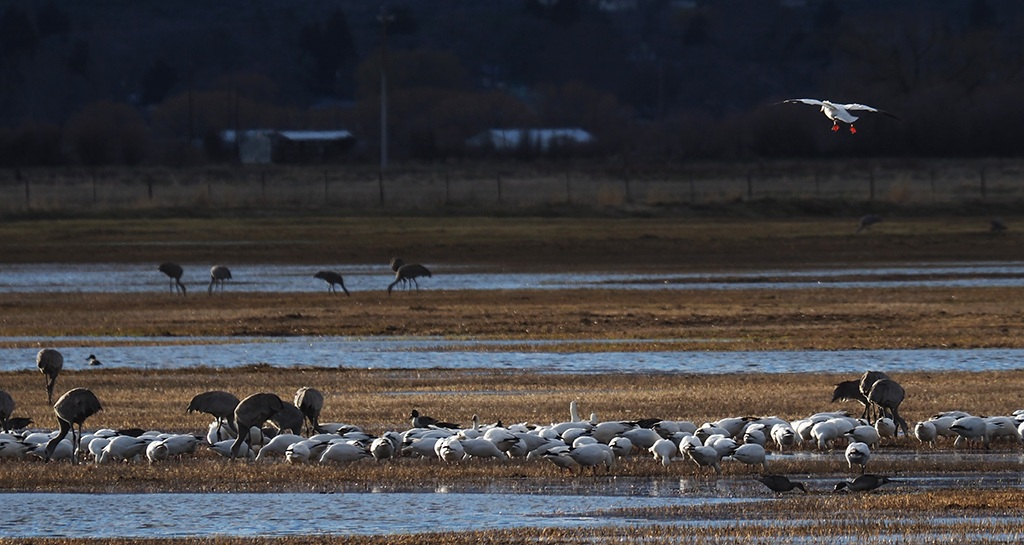 Sandhill Cranes, 'white' geese, and a few pintails on the Silvies flood plain